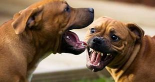 dogs-fighting-345ds031611